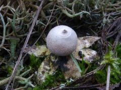 Geastrum minimum, apró csillaggomba